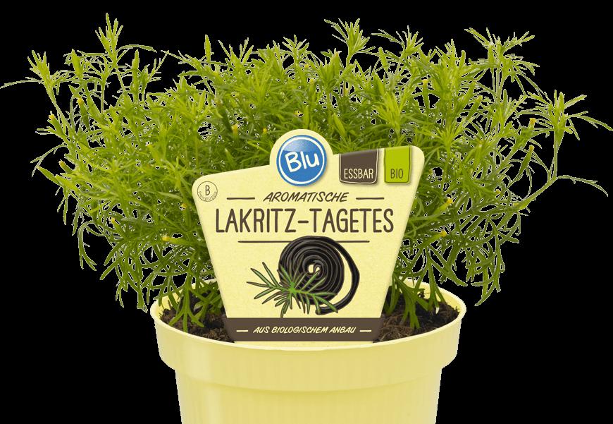 Blu - Aromatische Lakritz-Tagetes