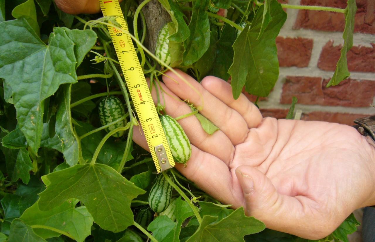 Mexikanische minigurke pflanze kaufen