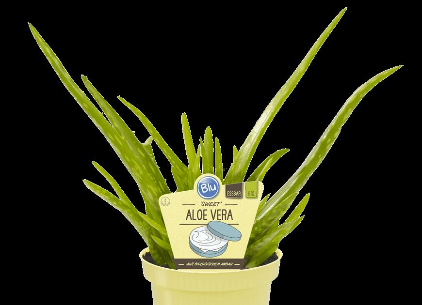 Blu - 'Sweet' Aloe vera