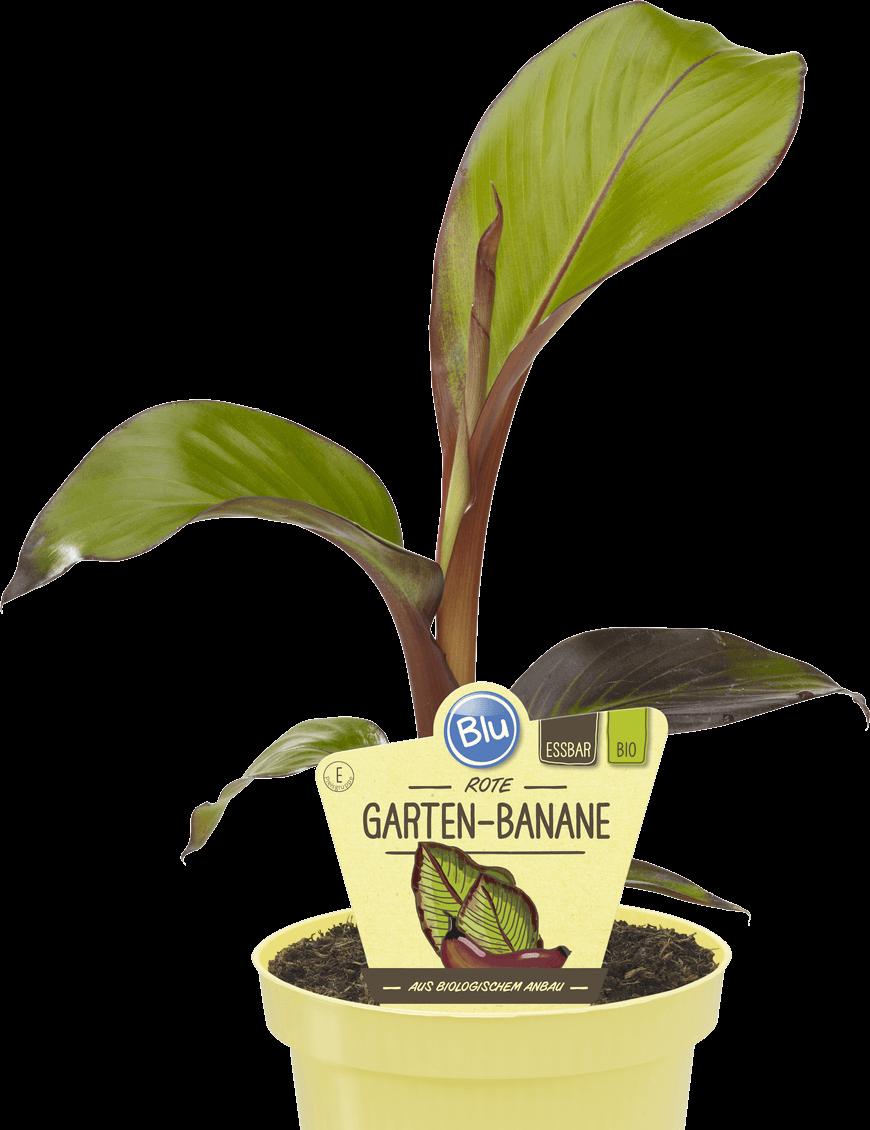 Blu - Rote Garten-Banane