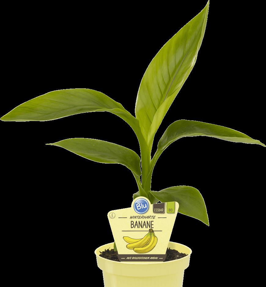 Blu - Winterharte Banane