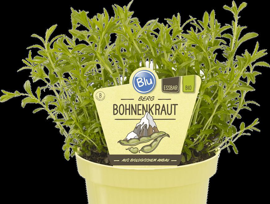 Blu - Berg Bohnenkraut