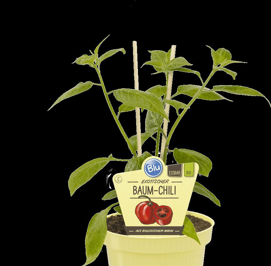 Blu - Robuster Baum-Chili