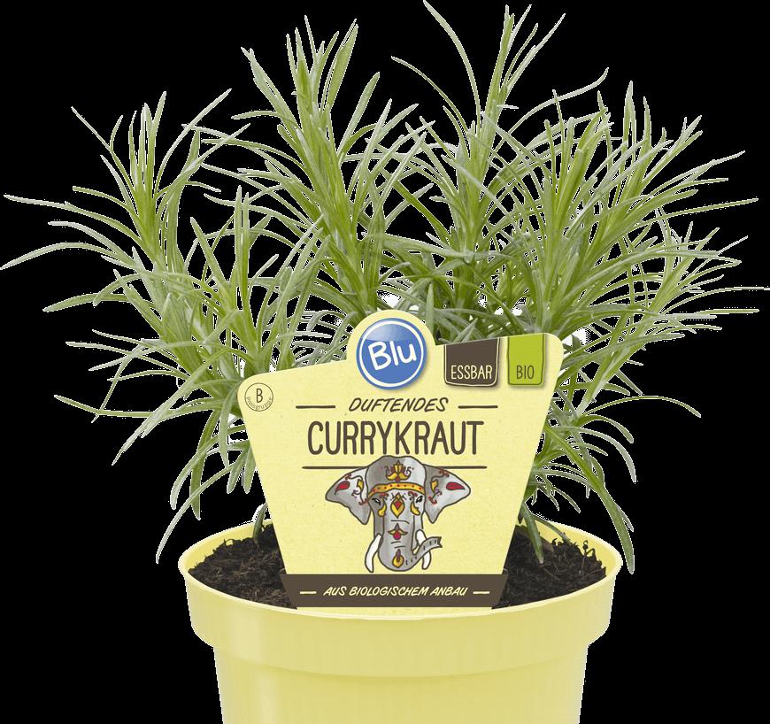 Blu - Duftendes Currykraut