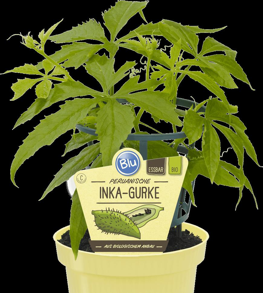 Blu - Peruanische Inka-Gurke