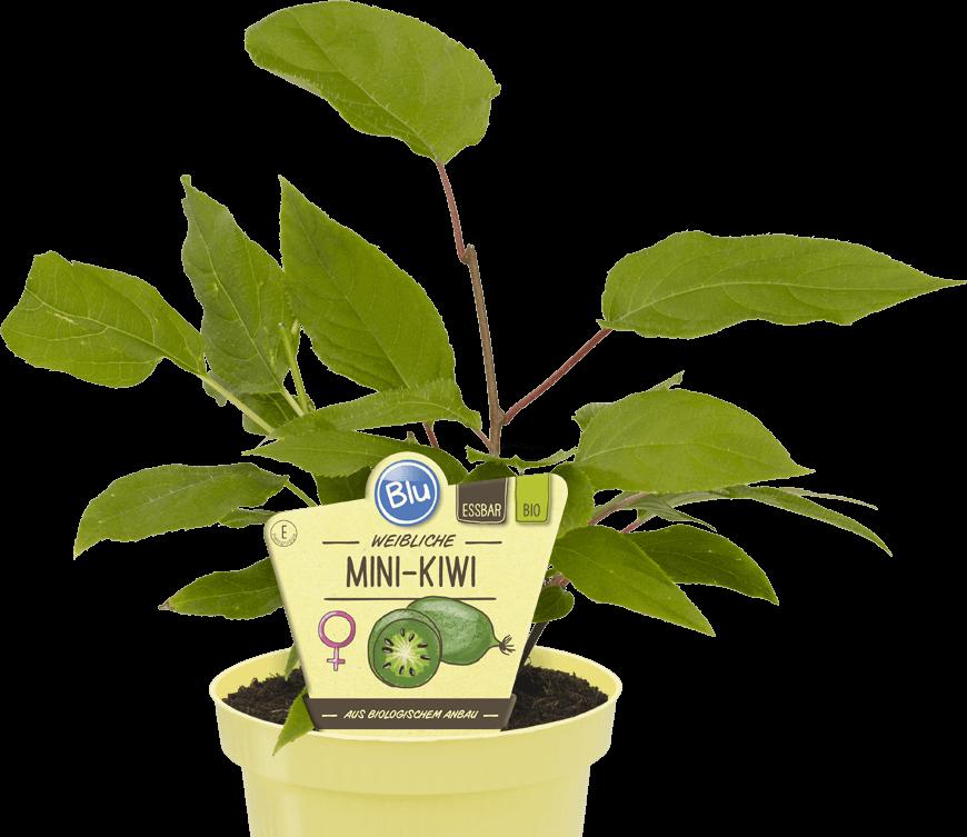 Blu -  Mini-Kiwi