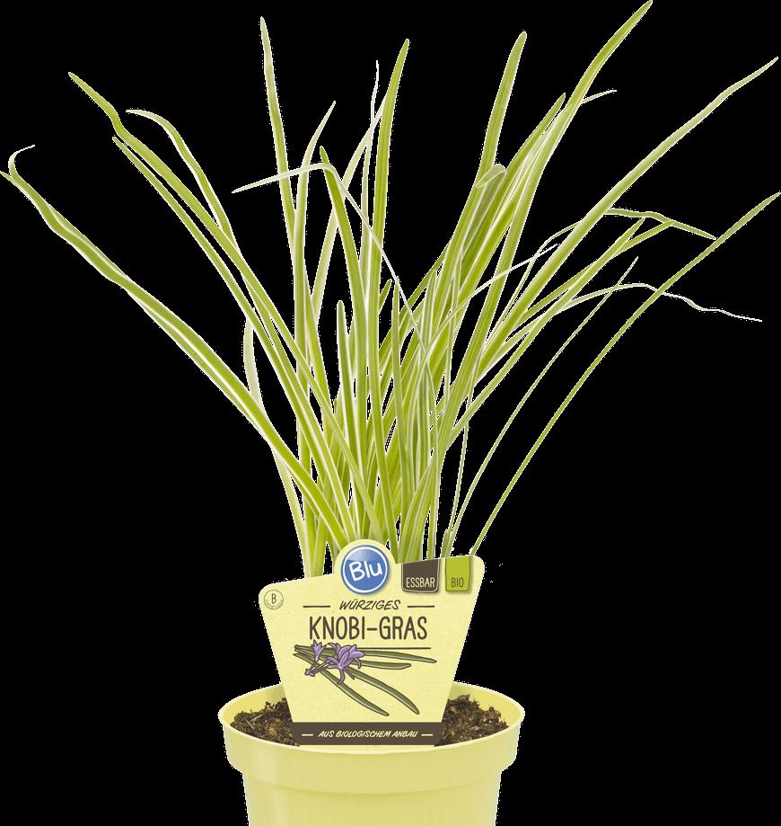 Blu - Würziges Knobi-Gras