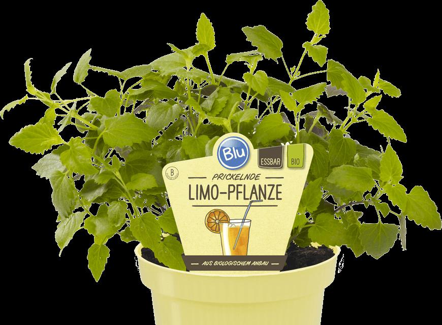 Blu - Prickelnde Limo-Pflanze