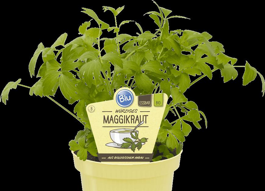 Blu - Würziges Maggikraut