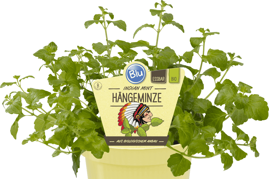 Blu - Indian Mint Hängeminze