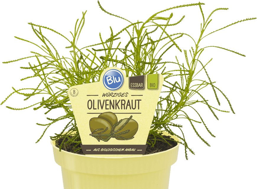 Blu - Würziges Olivenkraut