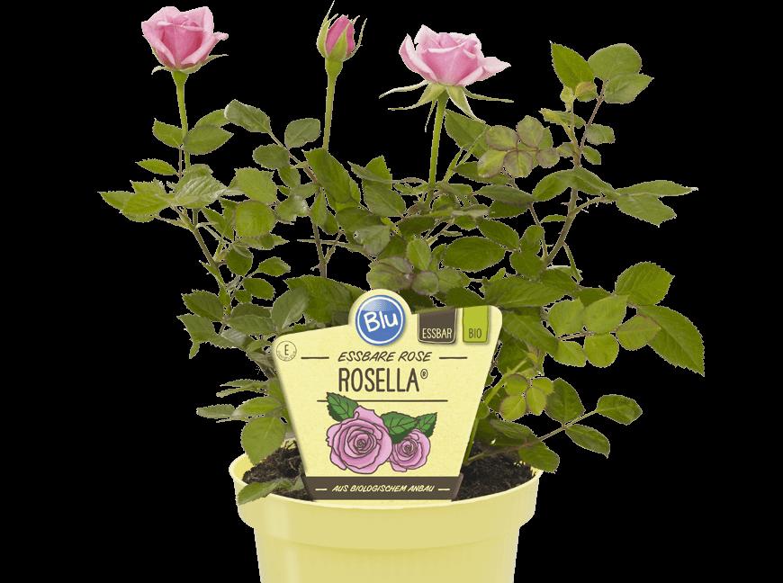 Blu - Essbare Rose Rosella®