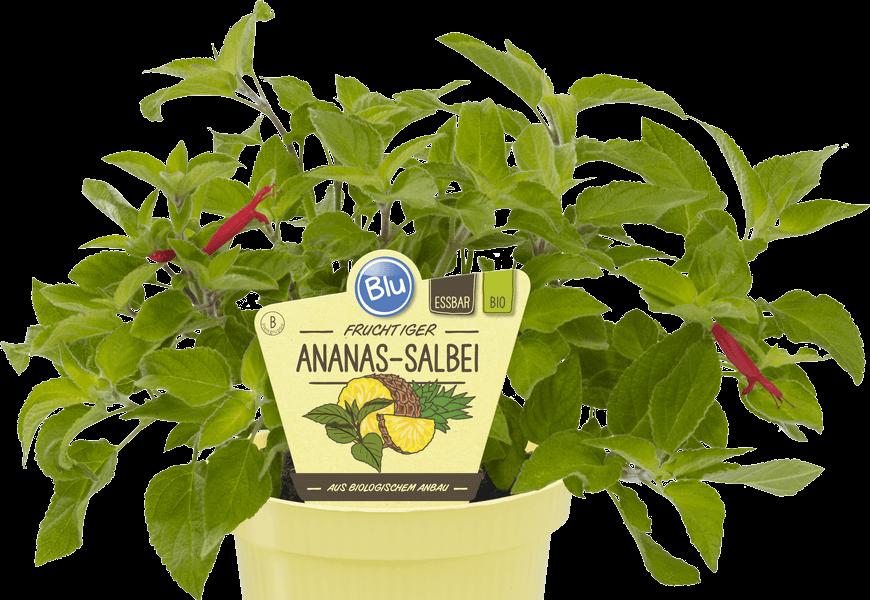 Blu - Fruchtiger Ananas-Salbei