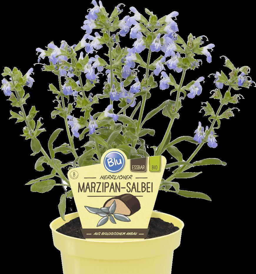 Blu - Herrlicher Marzipan-Salbei