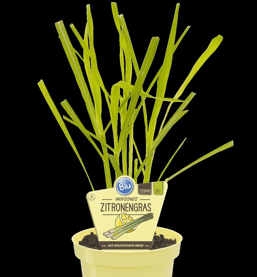 Blu - Indisches Zitronengras