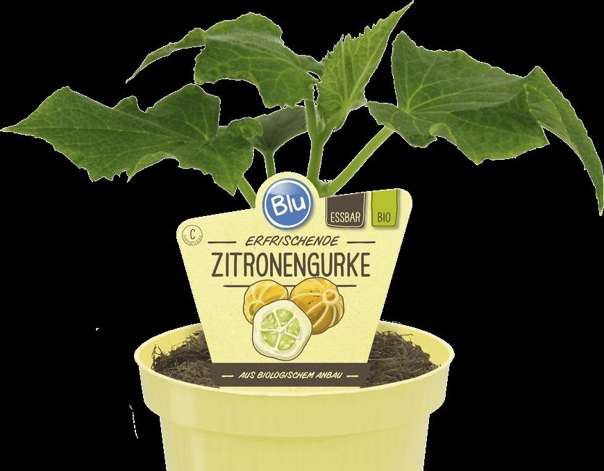 Blu - Erfrischende Zitronengurke