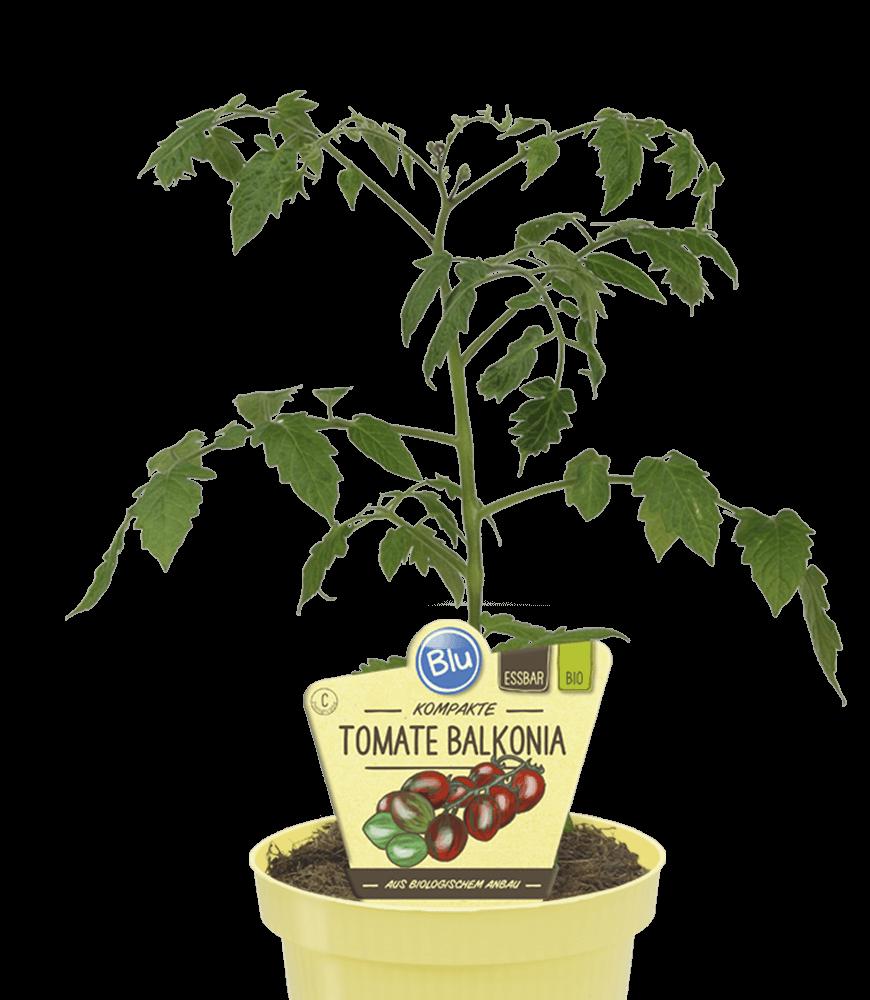 Blu - kompakte Tomate Balkonia