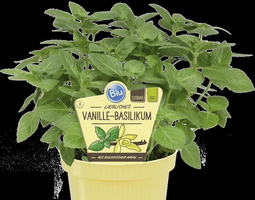 Blu - liebliches Vanille-Basilikum
