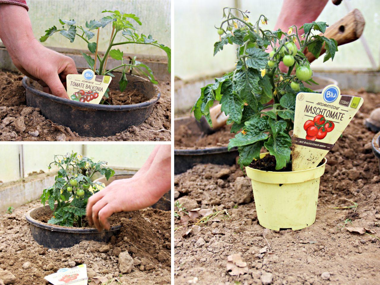 tomaten lieben 39 s warm und brauchen viel wasser blu kr uter gem se so gesund kann lecker. Black Bedroom Furniture Sets. Home Design Ideas