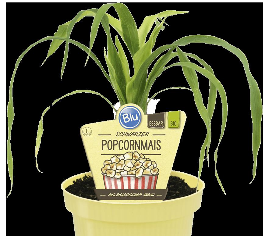 Blu - Schwarzer Popcorn-Mais