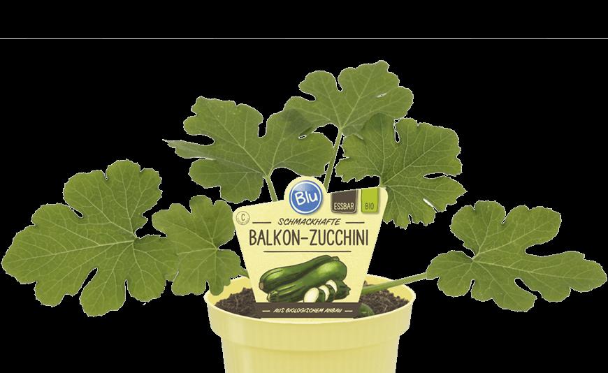 Blu - Schmackhafte Zucchini