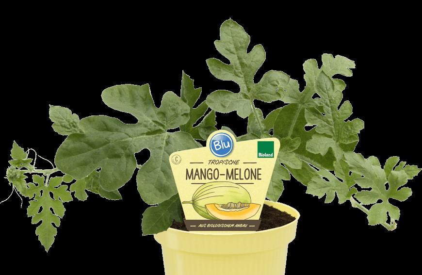 Blu - Tropische Mango-Melone