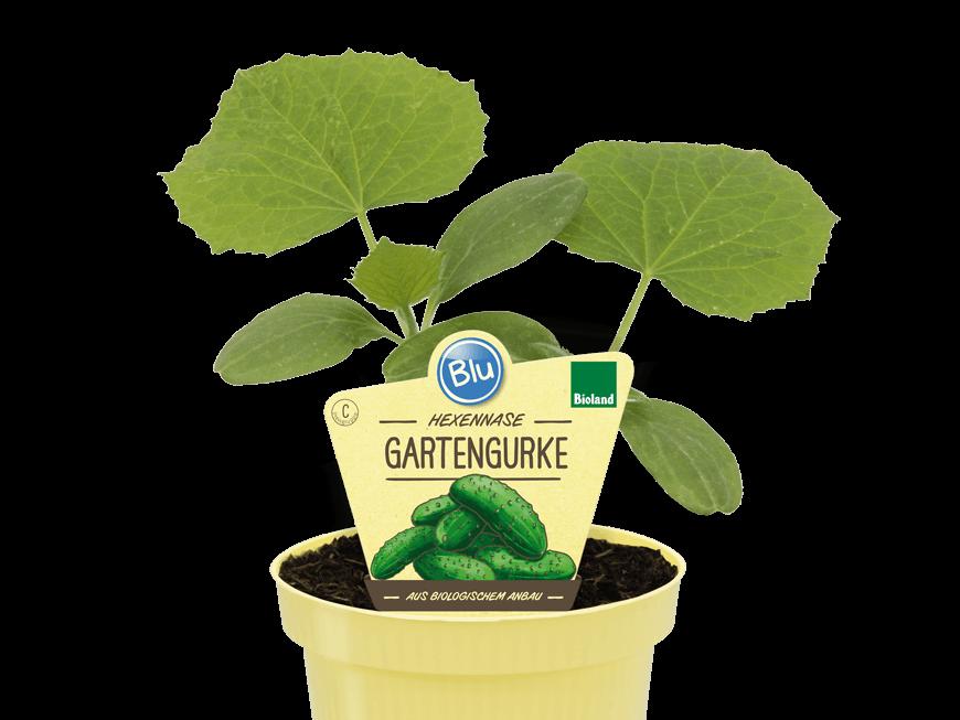 Blu - Hexennase Gartengurke