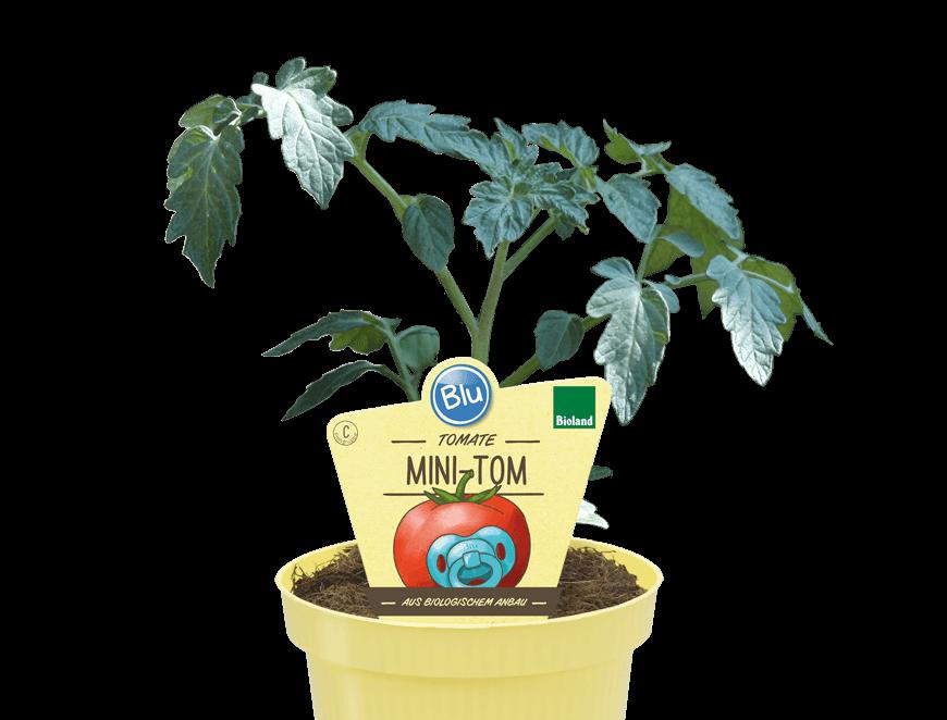 Blu - Tomate Mini-Tom